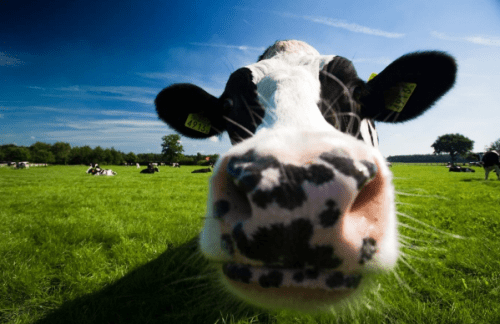 Has agritech startup Mastiline found the golden udder?